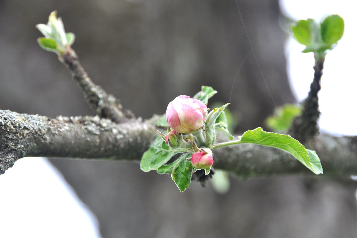 Apfelblüte Detail