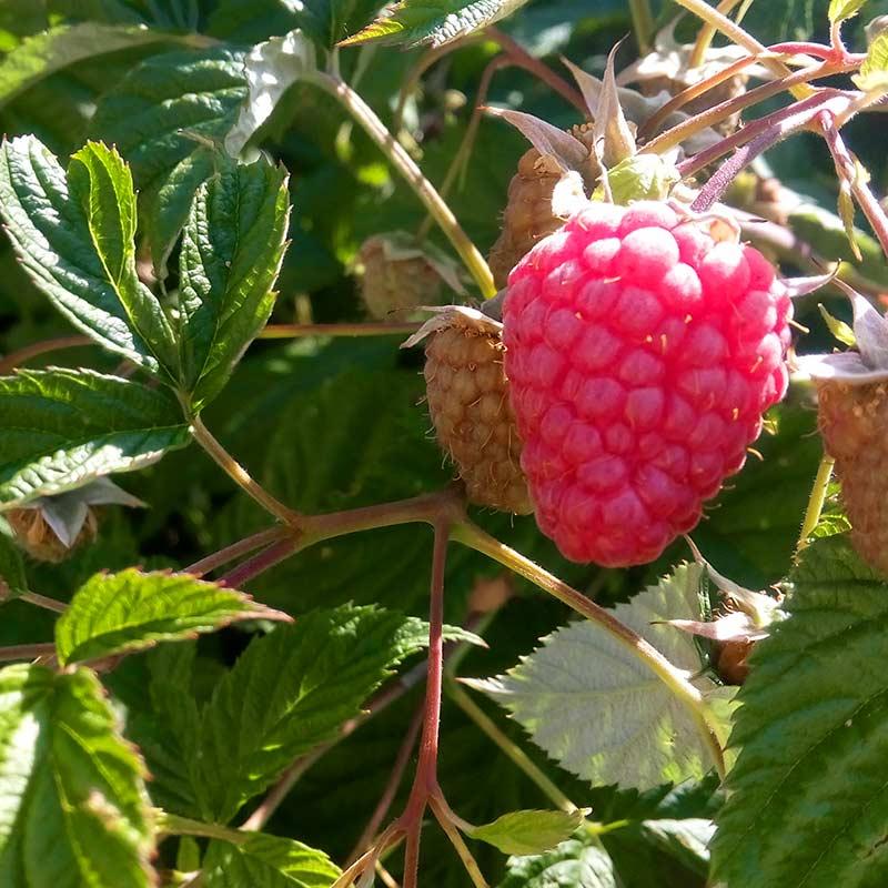 Himbeer_Frucht
