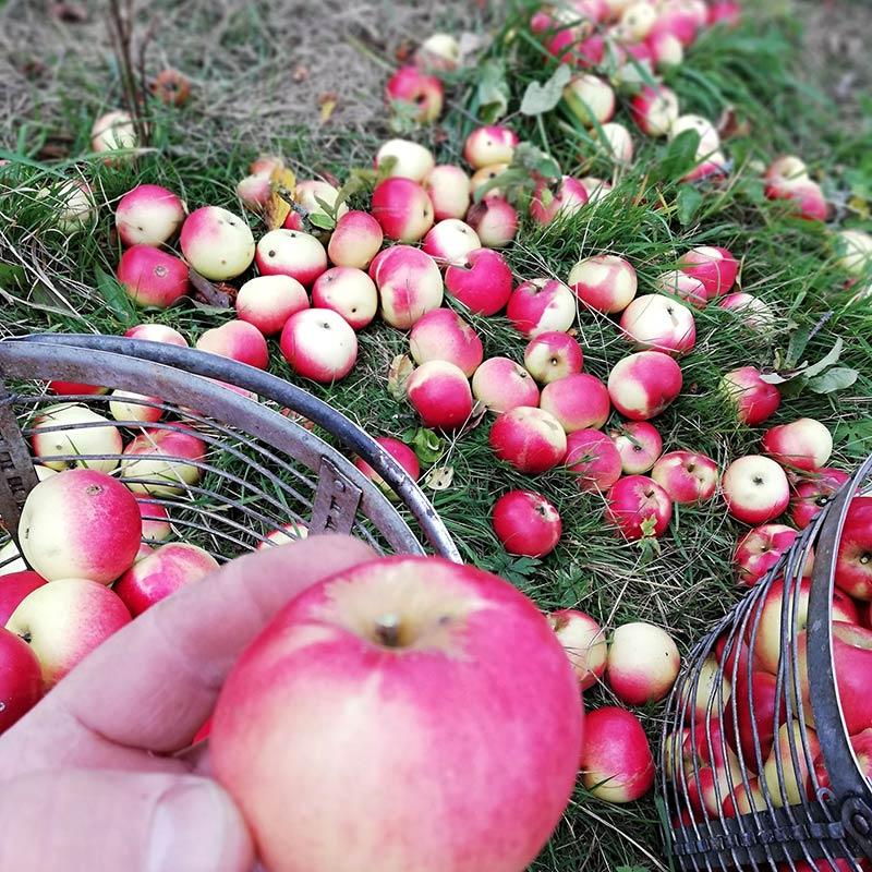 Apfelernte_
